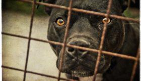 Staffordshire bull terrier behind bars