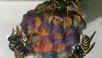 European paper wasps create multi-coloured nests